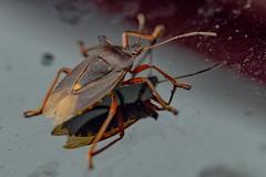 Car Passanger (Evoljo) Tags: bug insect car bonnet legs paintwork crawl macro nikon closeup d500