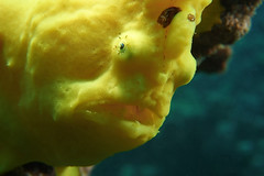 Boo! (BarryFackler) Tags: aquatic marine sea hawaiiisland barryfackler 2018 animal diving undersea westhawaii coralreef nature bigisland ecology marinebiology antennariuscommerson commersonsfrogfish giantfrogfish acommerson frogfish benthic sealife creature water marinelife hawaii fauna bay pacificocean marineecosystem zoology dive hawaiicounty ocean biology kona scuba life underwater southkona reef tropical marineecology being konadiving island diver hawaiianislands ecosystem sealifecamera wildlife barronfackler macro honaunau polynesia organism saltwater honaunaubay seacreature coral konacoast outdoor pacific hawaiidiving face fish closeup mouth texture esca