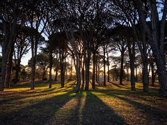 Pine Park (Mariasme) Tags: park pinetrees shadows iphone sunset pinepark challengeyouwinner cyunanimous matchpointwinner mpt671