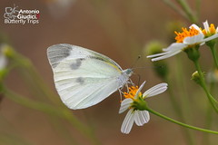 The Small Cabbage White - ผีเสื้อหนอนกะหล่ำเล็ก (Antonio Giudici Butterfly Trips) Tags: chiangmai fang