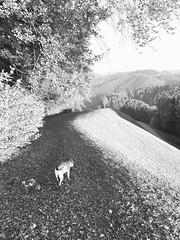 #emmental #switzerland #landscape #trees #fields #hills #highlands #bw #blackandwhite nearly #backlight #contre_jour #reflection #cloudy #sun #pitbull #dog #promenade #going for a #walk #stroll #leaves #grass #tbt #fbf (_-zony-_) Tags: emmental switzerland landscape trees fields hills highlands bw blackandwhite backlight contrejour reflection cloudy sun pitbull dog promenade going walk stroll leaves grass tbt fbf