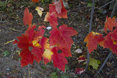 October Reds (brucetopher) Tags: maple tree sapling fall autumn colorful color red orange leaf leaves foliage changeofseason season brilliant glow fire fiery heat hot warm colors nature woods forest underbrush forestfloor onfire flame flames ground earth natural