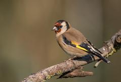 Goldfinch (cliveyjones) Tags: goldfinch rspblakenheath lakenheath