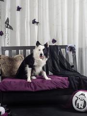 Trick or Treat (Rainfire Photography) Tags: dog bordercollie rescue teamdogrescue houndsofyork doggiedaycare pet portraits nikon bowens heterochromia