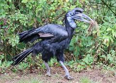 Hornrabe (Bucorvus) (Hugo von Schreck) Tags: hugovonschreck hornrabe bucorvus bird vogel