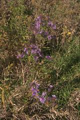 Maybury-State-Park-Flowers_Northville-MI_10-07-2011c (Count_Strad) Tags: mayburystatepark maybury state park northville michigan mi fallcolor field