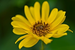 Topinambur - Sunflower (pstenzel71) Tags: blumen natur pflanzen topinambur sunflower sonnenblume darktable flower bokeh