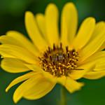 Topinambur - Sunflower thumbnail