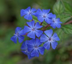 "Plumbago "" Hardy Blue "" (G.Sartori.510 Brucatura Olive) Tags: pentaxk1 smcpentaxda300mmf4edifsdm plumbago hardyblue"