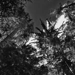 Sunlight Through the Trees (Black & White) thumbnail