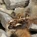 Wall Lizard and Fox carcass. (farrertracy) Tags: walllizard reptile dorset summer green yellow coast