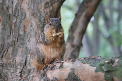 105/365/3757 (September 24, 2018) - Squirrels in Ann Arbor at the University of Michigan - September 24th, 2018 (cseeman) Tags: gobluesquirrels squirrels annarbor michigan animal campus universityofmichigan umsquirrels09242018 fall autumn eating peanut septemberumsquirrel 2018project365coreys yearelevenproject365coreys project365 p365cs092018 356project2018 foxsquirrels easternfoxsquirrels michiganfoxsquirrels universityofmichiganfoxsquirrels