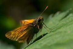 (Jérôme_M) Tags: canon eos 600d nature faune insecte macro proxy bokeh aquitaine landes seignanx saintmartindeseignanx wildlife natgeo natimages lemondedelaphoto
