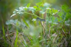 Bruco di Macaone (Papilio machaon) (iLaura_) Tags: bruco macaone farfalla natura prato allaperto