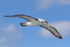 White-capped Albatross (Thalassarche steadi) (Heleioporus) Tags: whitecapped albatross thalassarche cauta steadi sydney pelagic