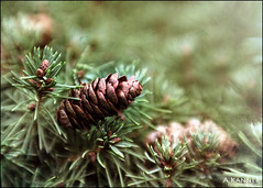 Tiny Pine Cone... (angelakanner) Tags: canon70d lensbabysweet50 composerpro garden longisland closeup bokeh 8mmmc