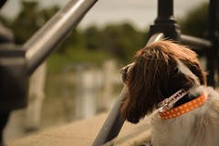 Felt cute might delete (brynkitch) Tags: naturallight springerspaniel springer spaniel cutedog cute river dog
