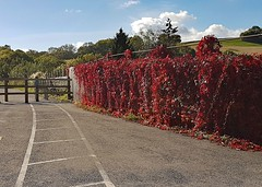 Red Vine (john atte kiln) Tags: path vines plants redleaves wall hangingplants pathway roadmarkings fence barrier clouds sky railings midford cyclepath england britain uk unitedkingdom bath somerset twotunnelsgreenway walkingpath