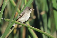 Willow Flycatcher (brad.schram) Tags: flycatcher empidonaxflycatcher empidonax empidonaxtraillii llc