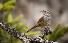 Swamp Sparrow (Melissa M McCarthy) Tags: swampsparrow sparrow bird songbird animal nature outdoor portrait perched cute wildlife neutral colors stjohns newfoundland canada canon7dmarkii canon100400isii bokeh dof