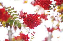 Red (Baubec Izzet) Tags: baubecizzet pentax bokeh fruit red autumn flickrunitedaward