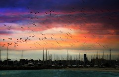Birds Over Boats (beachpeepsrus) Tags: longbeachcalifornia lbmarina beach birds beachfront blackskimmers bay boats shore sky shorefront rynchopsniger r