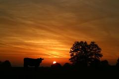 Kuh im Sonnenaufgang (shortscale) Tags: sonnenaufgang kuh wolke sonne orange stimmung