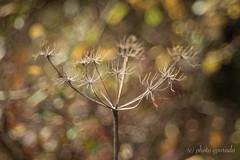 Autumn Leaves Bokeh - Trioplan (gporada) Tags: autumn trioplan bokeh olympusem10markii oldlens wideopenshot oldlensadaption