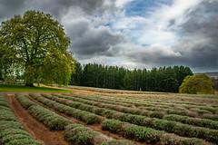 DSC_8224 (Vicki Resch) Tags: lavender nature tasmania fields australia bridstowe field farm absolutelystunningscapes
