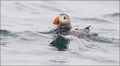 Lundi - Puffin - Fratercula arctica (alexmani97) Tags: iceland pelagic ocean outdoor wildlife naturephotography birdingiceland birding birdphotography nature birdsoficeland birds arctic atlantic lundi puffin ngc
