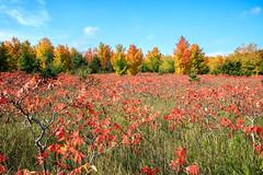 Meadow Of Sumac (Robert F. Carter Travels) Tags: autumncolors fall fallcolors autumn alanson michigan unitedstates us sumac meadow meadows