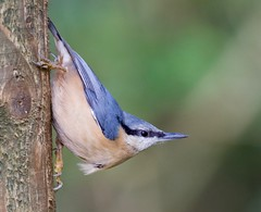 Nuthatch - Taken at Barnwell Country Park, Oundle, Northants. UK. (Ian J Hicks) Tags: