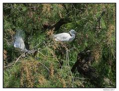 2017-05-15_Aigrettes Garzettes-0029.jpg (Hacheme 26) Tags: natureetpaysages aigrette oiseaux animaux saintesmariesdelamer provencealpescôtedazur france fr