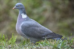 Ringeltaube / wood pigeon (reipa59) Tags: woodpigeon fressen gras nordpfalz countryside northpalatinate grass nature food germany natur ringeltaube autumn animal pfalz rheinlandpfalz vogel rhinelandpalatinate vögel wild bird tier futter futtersuche ransweiler wiese portrait palatinate tiere birds pigeon taube