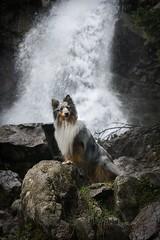 Merlin (Piko89) Tags: waterfall dog doggy shetland landscape rocks water sheepdog tatry mountain