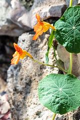Trumpets (A Different Perspective) Tags: australia fremantle perth westernaustralia flower leaf orange stone