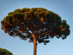 Pinus pinea (sander_sloots) Tags: pinuspinea stonepine parasolden pinie kiefer den pine tree boom toulon dusk france