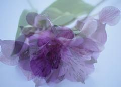 a little purple - explored (quietpurplehaze07) Tags: abstract purple alstroemeria flower macro multiexposure explored