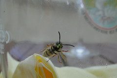 Macro wasp in beer glass (ferhat_culfaz) Tags: lumix tz100 macro wasp beer glass