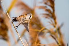 Bearded-Reedling-male-takeoff_w_6855 (Daly Wildlife) Tags: beardedreedling bearededtit panurusbiarmicus wetlands reedbeds marshland marshes rivers hungary flight flying feeding
