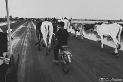 180728-148 Le vacher (clamato39) Tags: cambodge cambodia asia asie voyage trip enfants children vaches cows road route travel travail work noiretblanc blackandwhite bw monochrome
