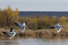 Snow Geese Landing_20A8619 (Alfred J. Lockwood Photography) Tags: alfredjlockwood nature wildlife birds waterfowl snowgeese snowgoose bosquedelapachewildliferefuge newmexico autumn afternoon flight water pond grasses trees