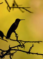 Silhouette (justkim1106) Tags: hummingbird nature bird wildlife texasbird texaswildlife texasoutdoors bokeh naturebokeh silhouette naturesilhouette birdsilhouette goldenbackground lines twigs