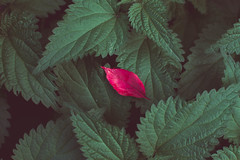 Fire leaf (dali bor) Tags: nature plant flower background summer garden spring green flora beautiful leaf botany natural beauty fresh season colorful floral blossom forest abstract color botanical decoration environment