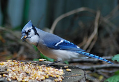 Surprise !! (John Neziol) Tags: jrneziolphotography portrait animal animalphotography wildlife wings outdoor ornithology closeup nikon nikoncamera nikondslr nikond80 naturallight nature brantford beautiful bright birdphotography bird bluejay feathers photography beak blue