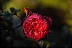 rose......... (atsjebosma) Tags: rose roos frost vorst drops wet nat druppels red rood light licht atsjebosma garden october 2018 ngc coth5 npc