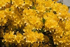 IMG_2204 (Lightcatcher66) Tags: rhododendron makros lightcatcher66