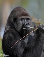 Eating (pclaesen) Tags: gorilla gorillas primate primates monkey ape zoo dierentuin beeksebergen safariparkbeeksebergen nederland netherlands holland brabant hilvarenbeek nikon d5300 nikond5300 sigma150600 sigmalenses sigmaphotography ngc