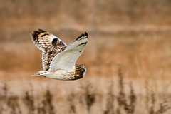 Short eared owl (Jeff J Brown) Tags: shortearedowl owl bird levenhall wildlife