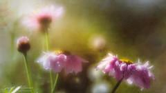 Its Moments Like This (Dave Whiteman - AU) Tags: texture argyranthemum plant lensbabyvelvet56 sunlight parisdaisy nature closeup